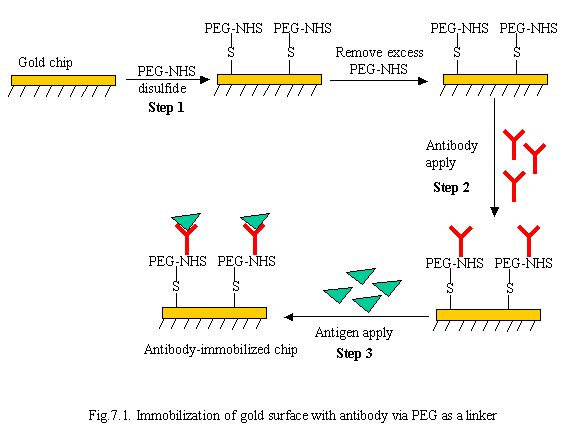 Immobilization of gold surface with antibody via PEG as a linker