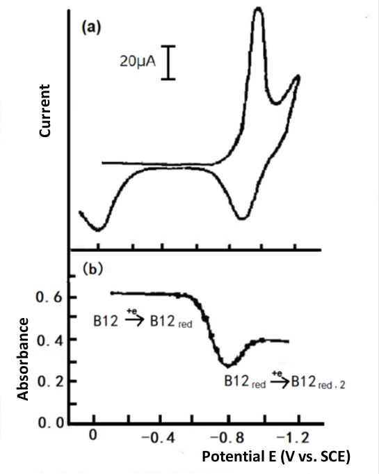 Fig. 4-3 Cyclic voltammetry of 1mmol/L Vitamin B12, Britton-Robinson buffer solution (pH 6.86), Hg-Au grid optically transparent electrode. (a) Thin layer cyclic voltammetry, (b) Plotting the absorbance at 388 nm versus potential.
